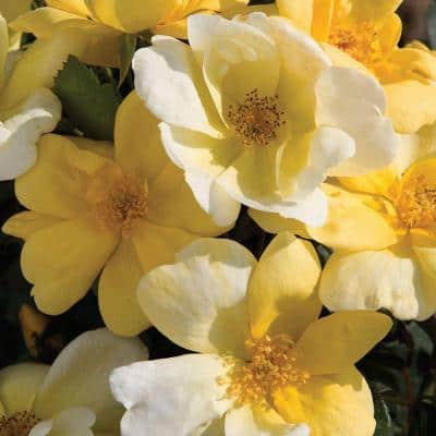 1 Gal. Yellow The Sunny Knock Out Rose Bush with Yellow Flowers