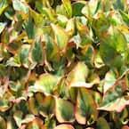 4 in. Chameleon Plant Potted Bog/Marginal Pond Plant