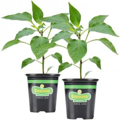 19.3 oz. Sweet Green Bell Pepper Plant 2-Pack