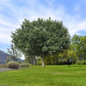 2.25 Gal. Deciduous Bur Oak Tree