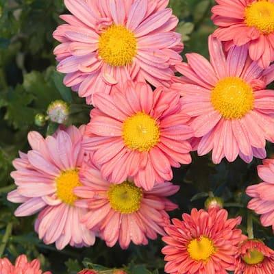 4 in. Pot Coral Daisy Mammoth Mum (Chrysanthemum) Live Flowering Perennial Plant (1-Pack)