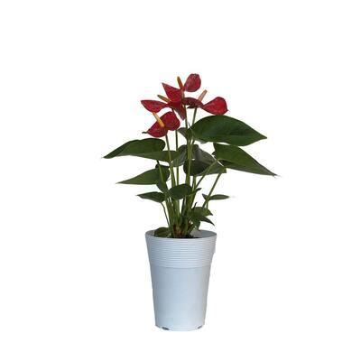 5 in. Anthurium Assorted Plant