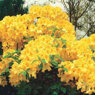 3 in. Pot Golden Lights Azalea (Rhododendron) Live Deciduous Plant Yellow Flowering Shrub