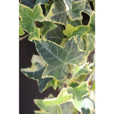 4.5 in. Quart Yellow Ripple Ivy Hedera Live Plant, Silver-Green and Yellow Variegated Foliage