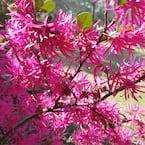 2.25 Gal. Loropetalum Daruma Flowering Shrub with Fuchsia Flowers