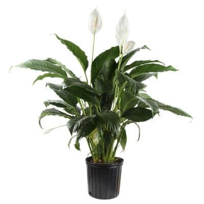 10 in. Spathiphyllum