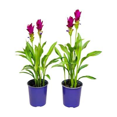 2.5 Qt. Curcuma Siam Plant Purple Flowers in 6.33 In. Grower's Pot (2-Plants)