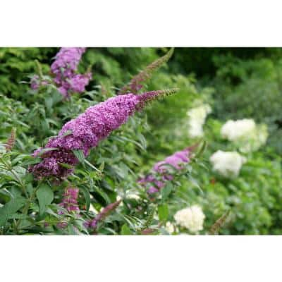 4.5 in. qt. Pugster Pinker Butterfly Bush (Buddleia) Live Plant, Shrub, Pink Flowers