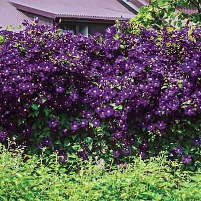 2 in. Pot Estelle Violette Clematis Vine Live Perennial Plant Vine with Purple Flowers (1-Pack)