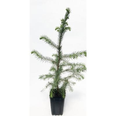 Serbian Spruce Potted Evergreen Tree