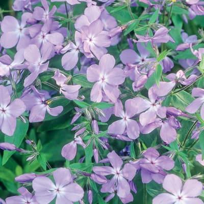 2.5 Qt. Blue Moon Phlox Divaricata Plant