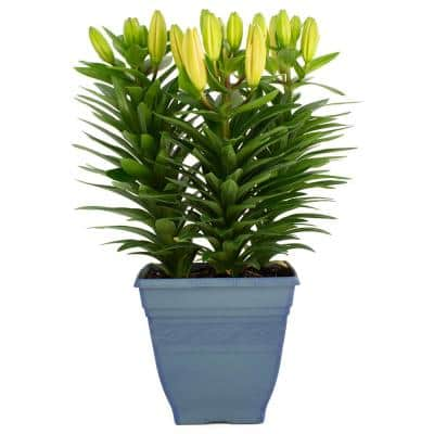 3.20 qt. Asiatic Lily Plant in 7.5 in. Deco Pot