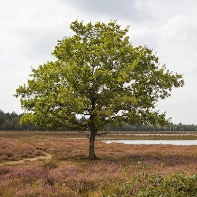 3 in. Deciduous Sawtooth Oak Tree