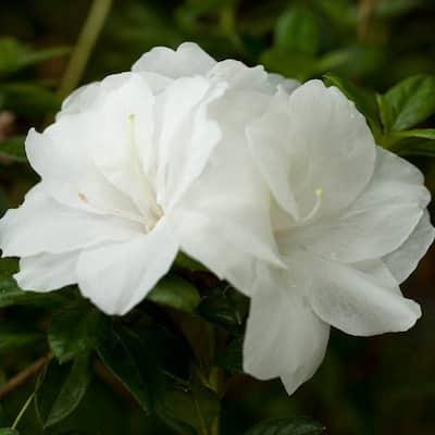 3 Gal. Autumn Moonlight Shrub with Crisp White Semi-double Reblooming Flowers
