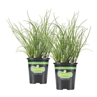 19.3 oz. Onion Chives Plant 2-Pack