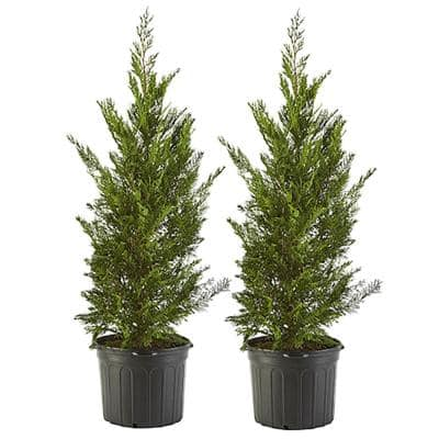 2.25 Gal. Leyland Cypress Evergreen Tree with Green Foliage (2-Pack)