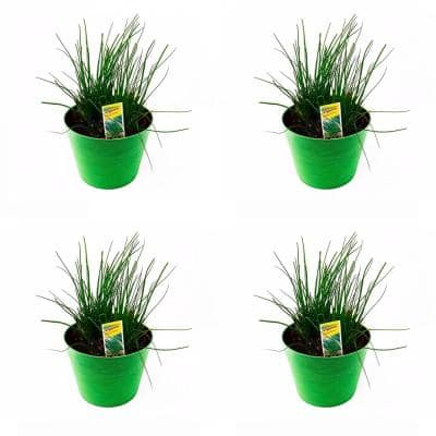 1.5 Qt. Herb Plant Onion Chives in 6 In. Deco Pot (4-Plants)