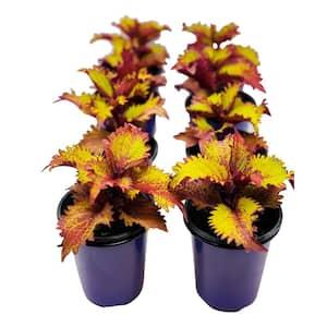 1.38 Pt. Coleus Plant Henna Copper/Dark Burgundy in 4.5 In. Grower's Pot (8-Plants)