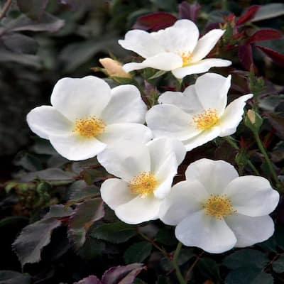 8 in. Rose White Bush