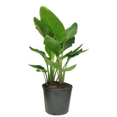 10 in. Bird Of Paradise Strelitzia White Plant