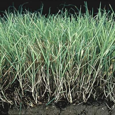0.5 lb. Buffalo Grass Seed Cover Crop