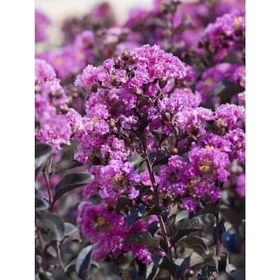 Black Diamond Purely Purple Deciduous Crape Myrtle Tree