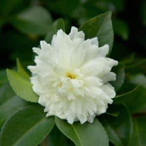 2 Gal. October Magic Ivory Camellia Shrub with Ruffled White Double Blooms