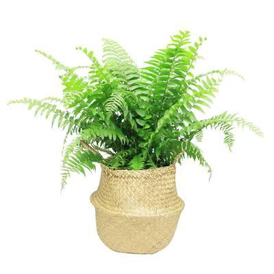 9.25 in. Macho Fern Plant in Natural Decor Basket