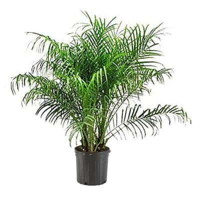 10 in. Roebellini Palm Tree with Long Rich Green Fronds