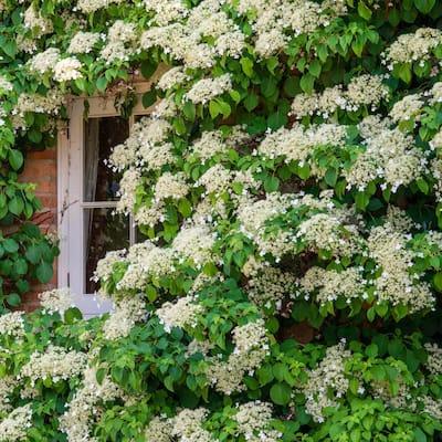 4 in. Pot Petiolaris Climbing Hydrangea Vine Live Deciduous Plant with White Flowers