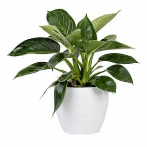 Philodendron Birkin Plant in 6 in. White Ceramic Pot