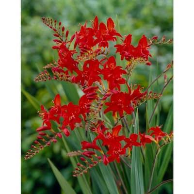 Crocosmia Lucifer Flower Bulbs (10-Pack)