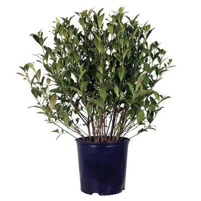 2.5 Gal - August Beauty Gardenia, Live Evergreen Shrub, White Fragrant Blooms