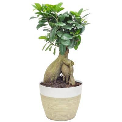 Ficus Bonsai in 6 in. Plastic Pot with Saucer