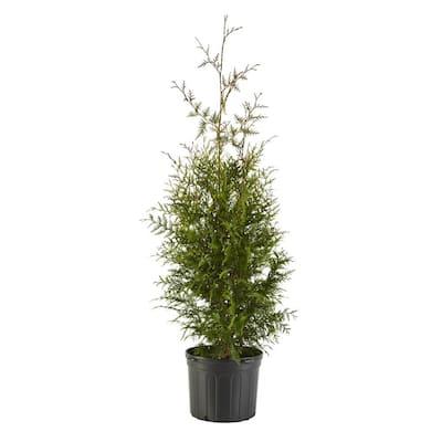 7 Gal. Arborvitae Green Giant Shrub with Green Foliage