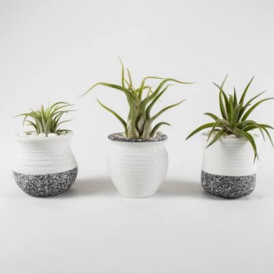 Air Plant Trio (Tillandsias) - Live Plants in 2.5 in. White, Gray Color Ceramic Pot Set 2 w/ White Stone (3-Pack)