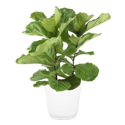 10 in. Lyrata Bush Fiddle Leaf Fig in White Plastic Deco Pot