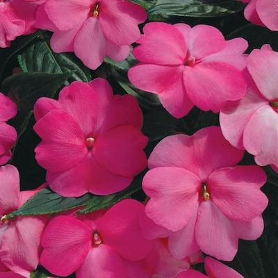 1 Qt. SunPatiens Pink Impatiens Plant