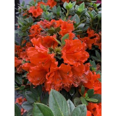 4.5 in. qt. Perfecto Mundo Double Orange Reblooming Azalea (Rhododendron) Live Plant in Orange Flowers
