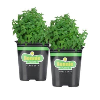 19.3 oz. Catnip (2-Pack Live Plants)