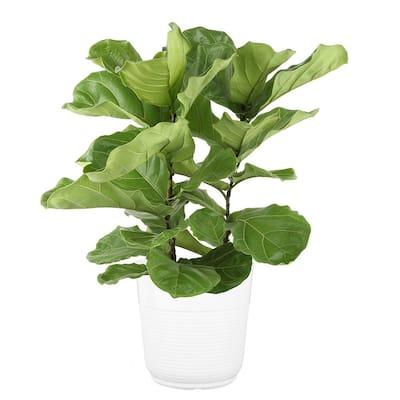 9.25 in. Ficus Lyrata Fiddle Leaf Fig Floor Plant in White Paradise Decor Pot