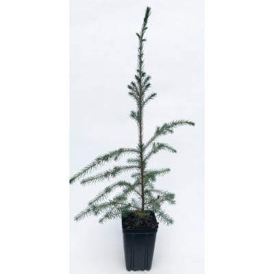 Black Spruce Potted Evergreen Tree