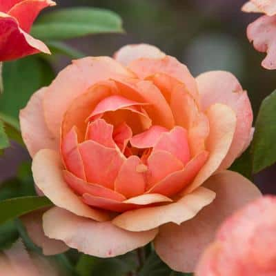 State of Grace Grandiflora Rose, Live Bareroot Plant with Orange Flowers (1-Pack)