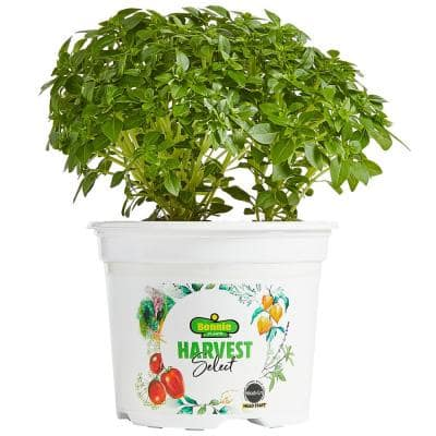 Harvest Select Boxwood Basil Plant