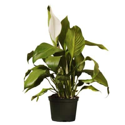 Peace Lily Live Indoor Spathiphyllum Plant Shipped in 6 in. Grower Pot 12 in. to 16 in. Tall