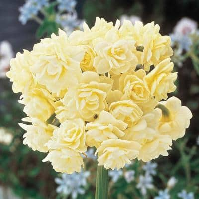 Summer Cheer Daffodil Bulbs 5-Pack