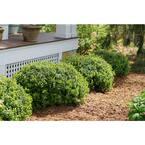 Sprinter Boxwood (Buxus) Live Evergreen Shrub, Green Foliage, 1 Gal.