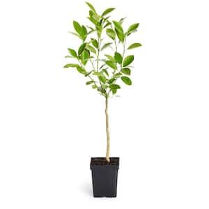 1 Qt. Nagami Kumquat Tree