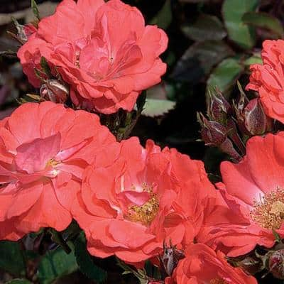 1 Gal. Coral Rose - Live Re-Blooming Groundcover Shrub