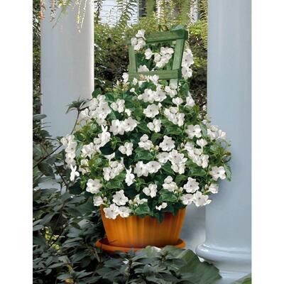 2.5 qt. Sambac White Jasmine Arabian Plant in Pot